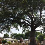 De boom die alles zag is niet meer......